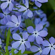 Flower Wild Blue Phlox 1 B Poster