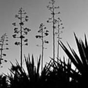Flowering Agaves Poster