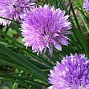 Flowering Chives Poster