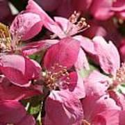 Flowering Crabapple In Bloom Poster by Mark J Seefeldt