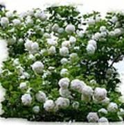 Flowering Snowball Shrub Poster