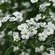 Flowering Spurge Poster