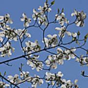Flowering White Dogwood Poster