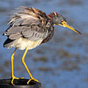 Fluffy Tri Colored Heron Poster