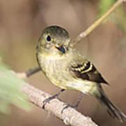 Flycatcher On A Branch Poster