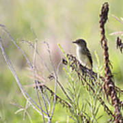 Flycatcher On A Twig Poster