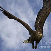 Flying European Sea Eagle I Poster