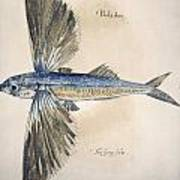 Flying-fish, 1585 Poster
