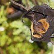 Flying Foxes Poster
