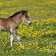 Foal In Field Poster by Conny Sjostrom