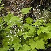 Foamflower (tiarella Trifoliata) Poster