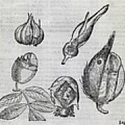 Foetal Plants, 16th Century Artwork Poster