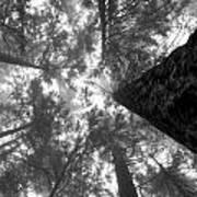 Foggy Treetops Poster