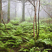 Forest Ferns On A Foggy Morning Poster