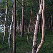 Forest, Shore Of Lake Superior Poster