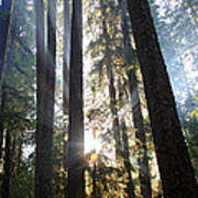 Forest Sun Rays In Olympic National Park Poster