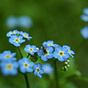 Forget-me-nots In Treman State Park, Ny Poster