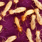Formosan Termites Poster by Science Source