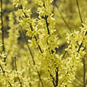 Forsythia In Full Bloom Poster