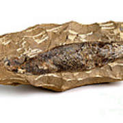 Fossilized Fish Poster