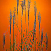 Fountain Grass In Orange Poster