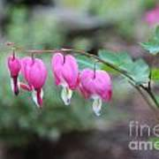 Four Bleeding Hearts Poster