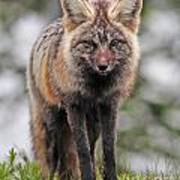 Fox Near Reflection Lake Poster