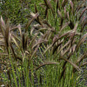 Fox Tail Grass Poster by Grover Woessner