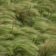Foxtail Barley And Western Wheatgrass Poster