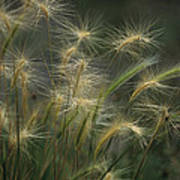 Foxtail Barley Poster