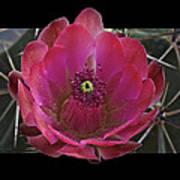 Framed Fuchsia Cactus Flower Poster