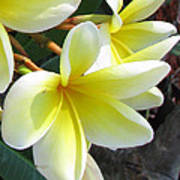 Frangipani Up Close Poster