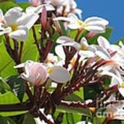 Frangipanier - Plumeria - Ile De La Reunion - Reunion Island Poster