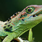 Frasers Anole Anolis Fraseri Male Poster
