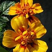 French Marigold Named Starfire Poster