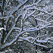 Fresh Snowfall Blankets Tree Branches Poster