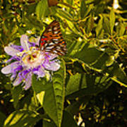 Fritillary On A Passion Flower  Poster