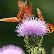 Fritillary Wings And Thistles Poster