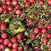 Frog Peaks Up Through Cranberries In Bog Poster