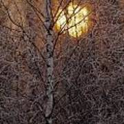 Frost-covered White Birch Trees Poster