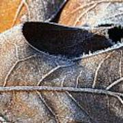 Frost On Oak Leaf Poster