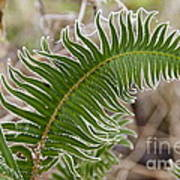 Frosted Fern Poster