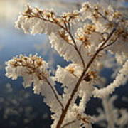 Frosty Dry Wood Aster Poster
