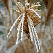 Frosty Fountain Grass Poster