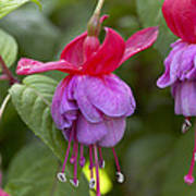 Fuchsia Fuchsia Sp Red And Blue Variety Poster