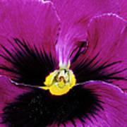 Fuchsia Pansy Poster