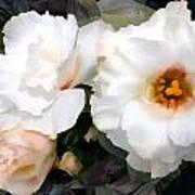 Full White Roses Poster