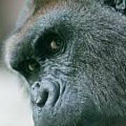 Funny Gorilla Poster