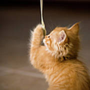Fuzzy Baby Kitten Playing And Pulling On A Cord Poster