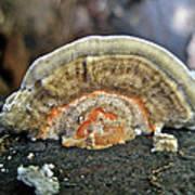 Fuzzy Turkey Tail Shelf Fungus - Trametes Ochracea Poster